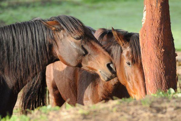 portugues horses